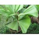 Guaraná Samen (Paullinia cupana)