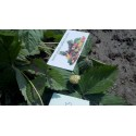 Ananas Samen Exotische Pflanze