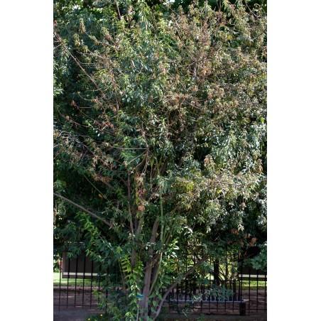 Wunderbeere - Maqui Samen (Aristotelia chilensis)