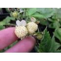 Semillas Fresas Blancas white strawberry
