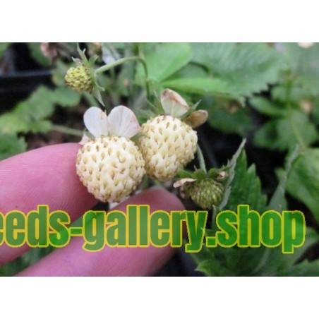 Semillas Fresas Blancas white strawberry