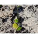 Egzoticna agava - Agave striata Seme