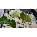 Graines de Agave striata (Succulente)