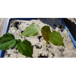 Afrikanische Schwarzbohne Samen (Griffonia simplicifolia)