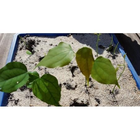 Bean Seeds Jerusalem (Phaseolus vulgaris L.)