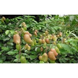 Atooto, Bandeiraea Seeds (Griffonia simplicifolia)