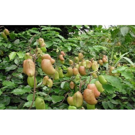 Semi di Griffonia simplicifolia - Rimedio naturale per la depressione