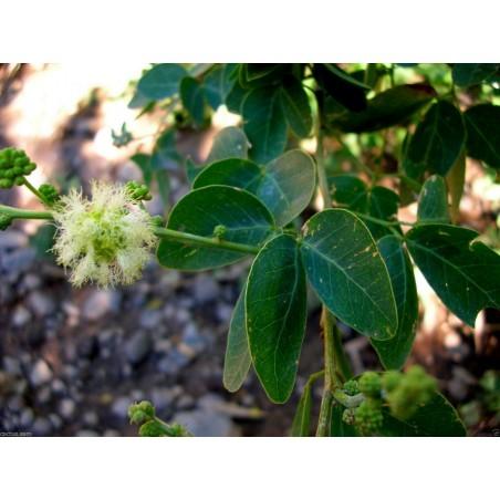 Monkeypod  - Manila tamarind Seeds (Pithecellobium dulce)