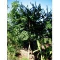 Saint Mary's thistle Seeds (Silybum marianum)