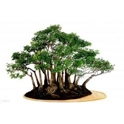 Manila Tamarind Seme (Pithecellobium dulce)