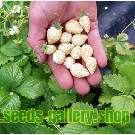 Lieblings Weiße Erdbeere Samen 'White Soul' Samen im Packung 50 &CH_73