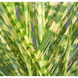 Graines de Camarine noire (Empetrum nigrum)