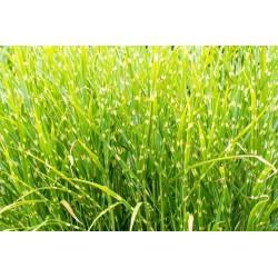 Zebra Grass - Miscanthus sinensis 'Zebrinus'