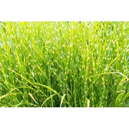 Krasuljica - Krbuljica Seme – Zacinska i Lekovita Biljka (Anthriscus cerefolium)
