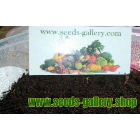 Σπόροι ποικιλία λευκής φράουλας 'White Soul'