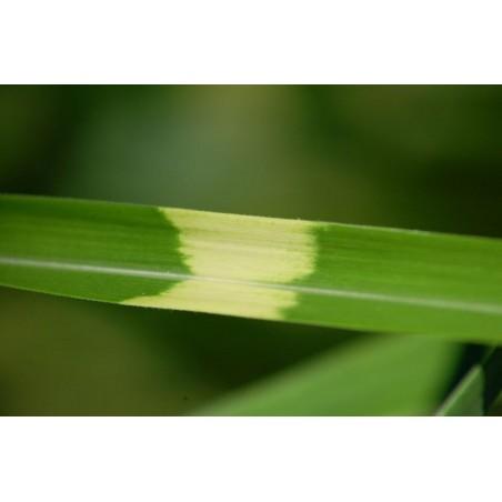 Dansk körvel, Trädgårdskörvel Fröer (Anthriscus cerefolium)
