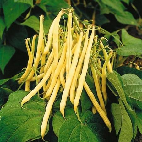 Stangenbohne Samen Jerusalem (Phaseolus vulgaris L.)