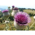 """Florinis"" Greece Sweet pepper Seeds"