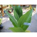 Argan seeds (Argania spinosa)