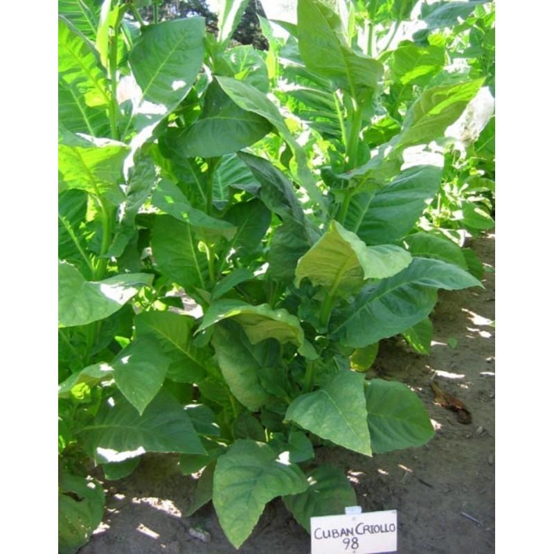 Cuban Criollo 98 Tobacco Seeds