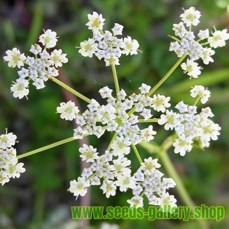 Σπόροι Κύμινο (Carum carvi L.)