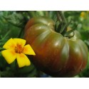 Organic Black Beauty Eggplant Seeds
