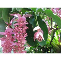 Showy Medinilla or Rose Grape Seeds (Medinilla magnifica)