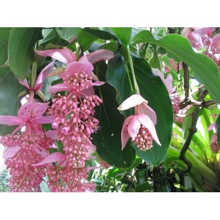 Trinidad Scorpion Crveni i Zuti Seme 1,5 Miliona SHU