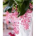 Common Purslane, Verdolaga, Red Root, Parsley Seeds (Portulaca oleracea)
