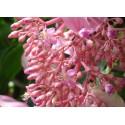 Showy Medinilla or Rose Grape Seeds (Medinilla magnifica)