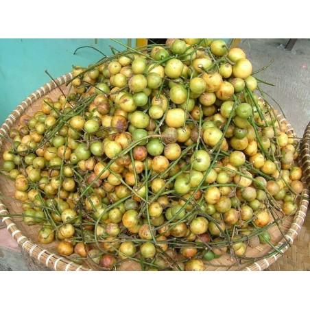 Burmese Grape Samen (Baccaurea ramiflora)