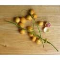 Burmese Grape Seeds (Baccaurea ramiflora)