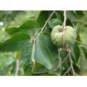 Cherimoya Samen - Annona Cherimola - Zucker apfel