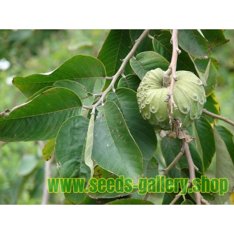Sporoi Anēthos (Anethum graveolens)