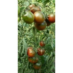 Basil Greek Bascuro seeds (Ocimum minimum)