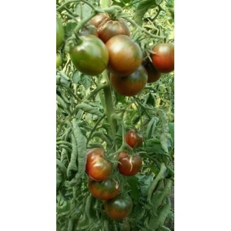 Grcki Bosiljak Seme (Ocimum Basilicum)