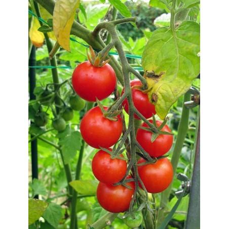 Grains de tomates Garden Delight