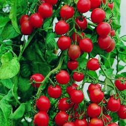 Sementes de tomate jardineiros Prazer - Gardeners Delight
