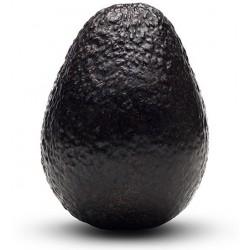 Svarta avokado frön (Persea americana)