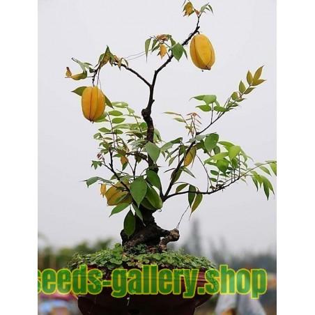 Semillas Averroha carambola Fruta Estrella