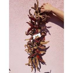 """Vezanka"" Chili 500 Seeds Old Serbian variety"