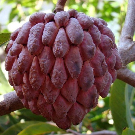 Kirimoja Röd frön SÄLLSYNT (Annona reticulata)