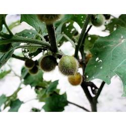 Graines de Aubergine de Siam, fruits comestibles et rares (Solanum ferox)