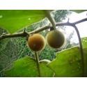 Paradiso Midi Rispen tomato seeds
