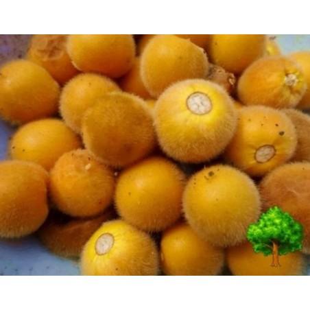 Tarambulo - Dlakavi patlidžan Seme (Solanum ferox)