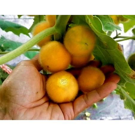 Tarambulo - Hairy eggplant Seeds (Solanum ferox)
