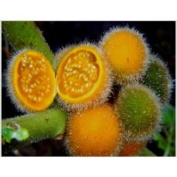 Sementes de Tarambulo - Berinjela peludas (Solanum ferox)