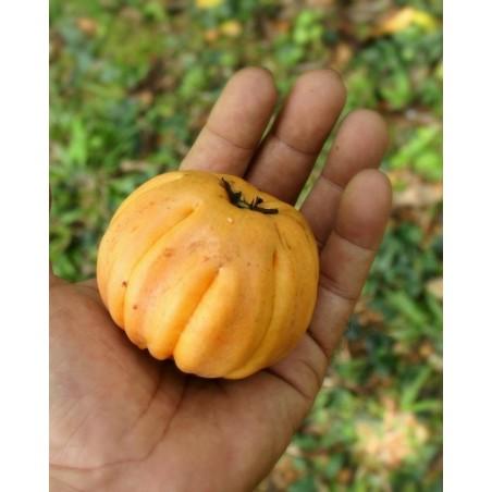 Samen Cowa Mangostan, Kandis, Dorf Kandis (Garcinia cowa)