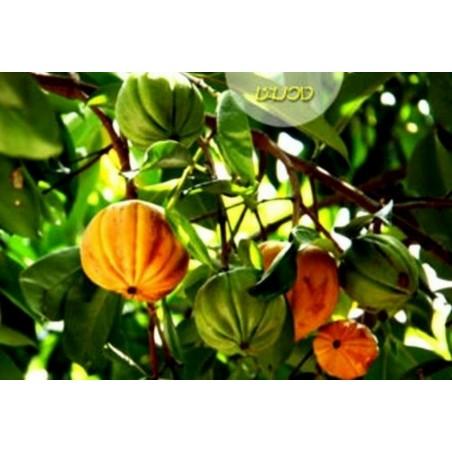 Graines de Bois de Sainte-Lucie, Cerisier de Sainte-Lucie, Faux merisier (Prunus mahaleb)