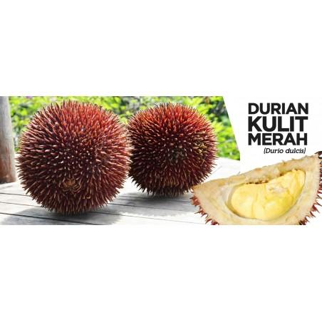 Rote Durian-Samen, Durian Marangang (Durio dulcis)